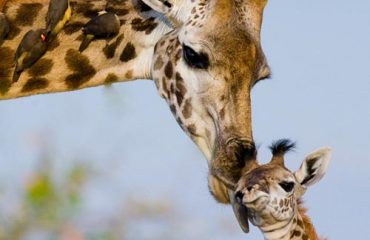 female-giraffe-with-baby
