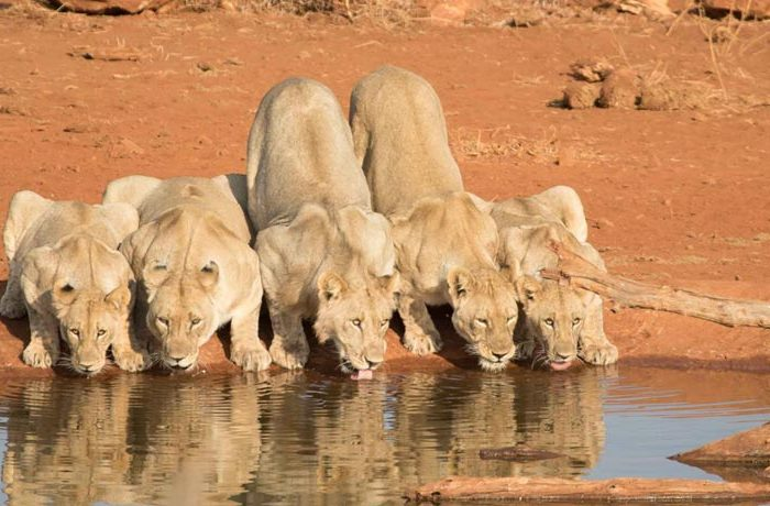 etali-safari-lodge-lions-drinking-water
