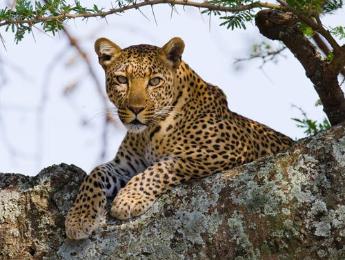 leopard-on-the-tree