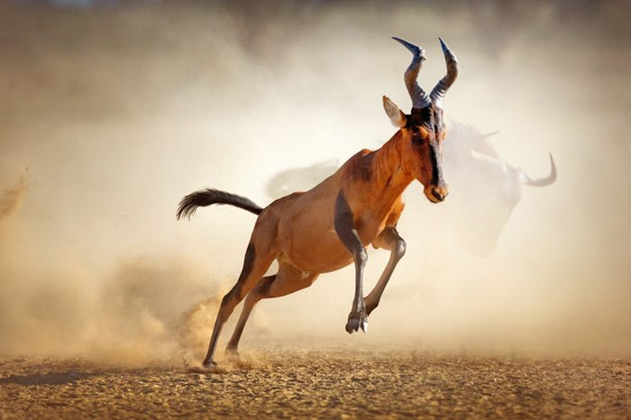 red-hartebeest-running-in-dust