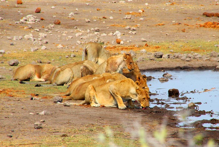 lions-drinking-water