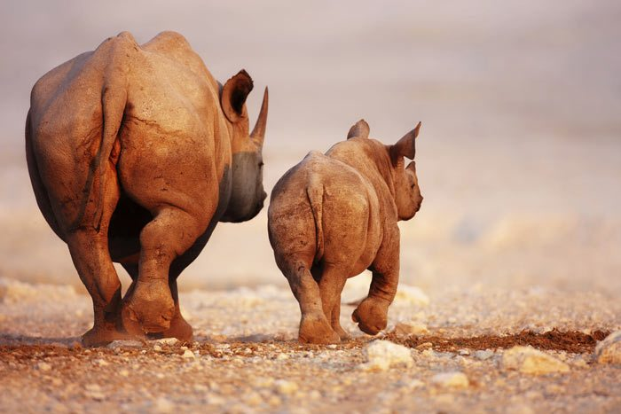 black-rhinoceros-baby-and-cow