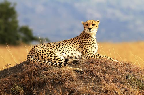 cheetah-on-the-masai-mara-in-africa
