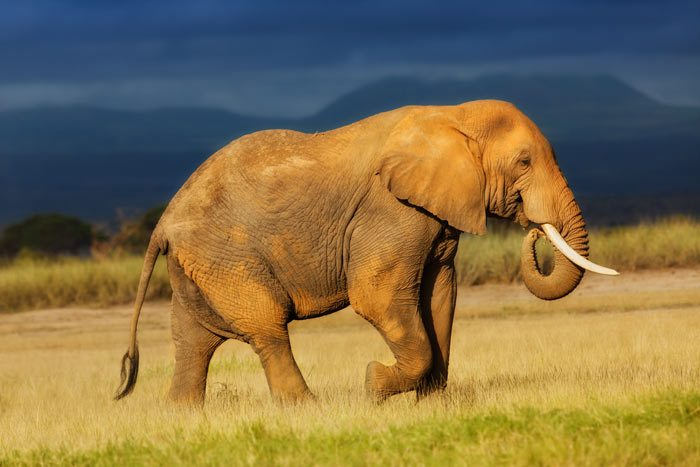 elephant-in-amboseli-national-park