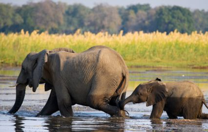 elephant-with-baby-lower-zambezi-national-park