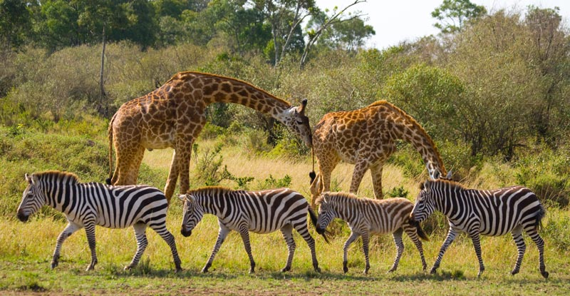 two-giraffes-in-savannah-with-zebras-kenya-tanzania-east-africa