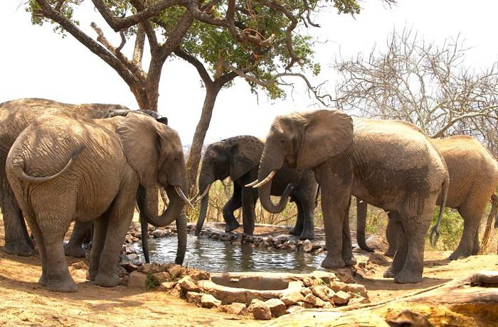 elephants-drinking-at-water-hole